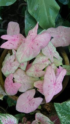 Lots of people are interested in information about The Best Pots for Indoor Gardening. We can help you. Just click our link to find out more. House Plants Decor, Plant Decor, Elephant Ear Plant, Pink Plant, Plants Are Friends, Variegated Plants, Foliage Plants, Tropical Garden, Outdoor Plants