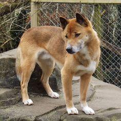 4. New Guinea Singing Dog
