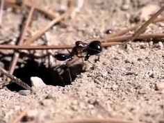 Parasitic Wasps Lay Eggs in Ants