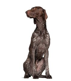 The #GermanShorthairedPointer is an active, friendly dog breed that needs a lot of exercise. If it doesn't get sufficient exercise it gets frustrated and mischievous. It's very affectionate with its family and likes children a lot. The German Shorthaired Pointer is a gentle breed that can bark a lot but is normally friendly towards other dogs and strangers.