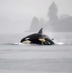 Momma and Baby Orcas ~ Puget Sound 12/21/2014 photo by Michael Charest via KIRO 7 Eyewitness News