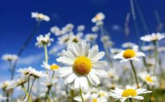 Daisy Flower Meaning - Flower Meaning Daisy Flower Pictures, Flower Images, Flower Art, Daisy Flower Meaning, Flowers Nature, Beautiful Flowers, Beautiful Images, Types Of Daisies, Blue Sky Images