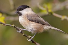 Willow Tit - a pair of these spent the entire summer of 2012 in Mercers Wood, I saw and heard them many times.
