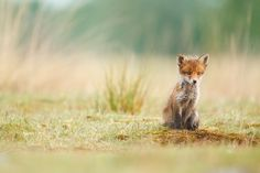 "Little Fox, Marijn Heuts. ""Kingfishers, badgers and foxes are animals I go after just about every year. No matter how many images of them I have already 'bagged'. There's always a better image waiting to be made. And also, just sitting in a quiet spot, watching animals go about their thing without being disturbed, is something I really enjoy. It's almost like meditation."""