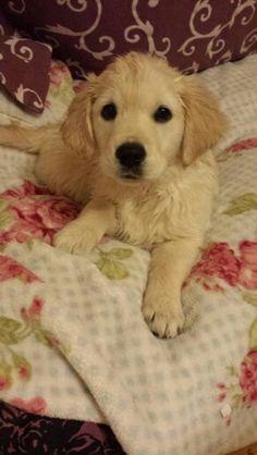 Golden retriever puppy lucy