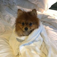 Im not sure a bath counts as a spa treatment...think Ive been tricked . . . . . . . . . . . . Follow: us: -@friendly_pomeranian for more Comment below if You like this Via: @horatio_pom Tag your friends Thank you so much !!! #friendlypomeranian #pomeranian_insta #pomeranianworld #pomeranian_fever #pomeranianspitz #pomeraniansrcute #pomeranian_lovers #pomeranianslife #pomeranianloverspost #pomeraniansworld #pomeranianloverpost #pomeranian_moments #pomeraniansrule #pomeraniandaily