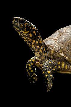Terrapene carolina (box turtle)