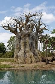 The Baobab Tree is also known as 'The Upside Down Tree' since the bare branches look more like roots