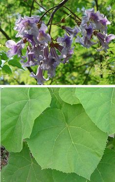Paulownia tomentosa - (Empress tree, Foxglove tree) AGM Family Paulowniaceae Originating from China Fast growing deciduous tree with large, bright green, heart-shaped leaves and violet flowers in summer. Even on young plants the leaves can grow up to 30cm long and are a rich green, covered in downy hairs.