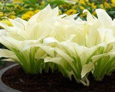 Hosta - White Feather