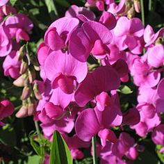 Sweet Peas More Pink Flowers http://thegardeningcook.com/pink-flowers/