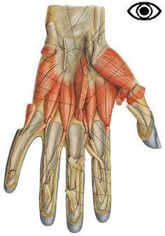 Deep muscles of the hand.