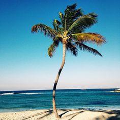 Crooked palm tree in Nassau Paradise Island, The Bahamas.