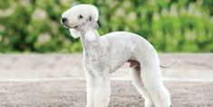 When choosing good apartment dogs there is much more to consider than small dog breeds. Find out the 44 best dog breeds for apartment living. Wheaten Terrier, Fox Terrier, Terrier Dog Breeds, Terriers, Rare Dogs, Rare Dog Breeds, Best Dog Breeds, Small Dog Breeds, Lakeland Terrier