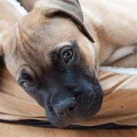 #dogalize Razze cani: il cane Mastiff, aspetto e caratteristiche #dogs #cats #pets