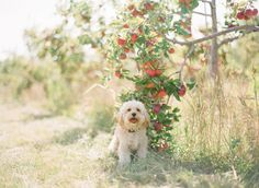 The McCartneys Photography | We just love this little man! :D #Cavapoo #Puppy