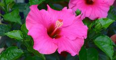 Garden Composting How to grow vibrant hibiscus that lights up your garden with blooms. - How to grow vibrant hibiscus that lights up your garden with blooms. Growing Hibiscus, Hibiscus Tree, Hibiscus Flowers, Purple Flowers, Hawaiian Flowers, Cactus Flower, Exotic Flowers, Yellow Roses, Pink Roses