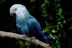 little-blue-macaw-cyanopsitta-spixii-claus-meyer.jpg 900×604 pixels