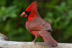 State Bird of Illinois - Northern Cardinal