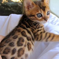 Stunning little Bengal baby. I would love one... or two!