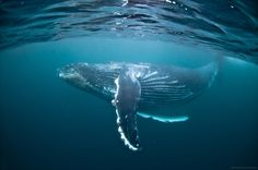 dancing whale by Alexander Safonov on Description playful humpback whale encounter on South African Wild Coast Under The Water, Under The Sea, Beautiful Creatures, Animals Beautiful, Cute Animals, Beautiful Ocean, Underwater Photography, Animal Photography, Whales
