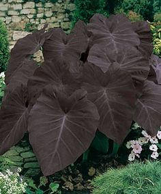 Black elephant ear<3 this by or in my pond :)