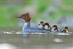 ducks award winning bird photography by jonathan grant Animals And Pets, Baby Animals, Cute Animals, Funny Animals, Animal Babies, Wildlife Photography, Animal Photography, Amazing Photography, Portrait Photography