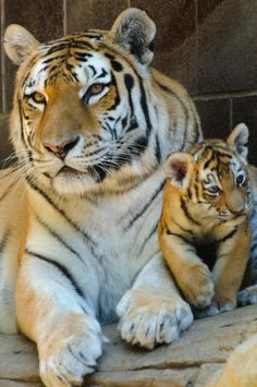 Mama Siberian Tiger With Cub Born June 22 2010