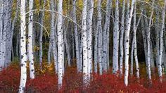 images of birch trees - AT&T Yahoo Image Search Results
