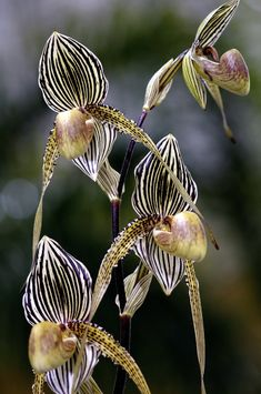 Paphiopedilum Orchid  ♥ ♥ www.paintingyouwithwords.com