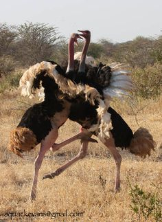 The Ostrich bird or Common Ostriches (Struthio camelus) is either one or two species of large flightless birds native to Africa. Beautiful Birds, Animals Beautiful, Cute Animals, South African Birds, Camelus, Animal Attack, Flightless Bird, Emu, Kinds Of Birds