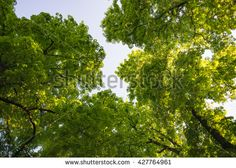 Horse-chestnut chestnut tree treetop seen from below view perspective sun bright green leaves leaf majestic