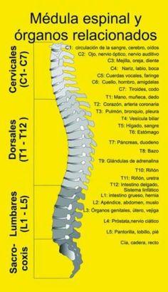 Medula y Organos  VitaLys Centro de Terapias Alternativas y Energéticas