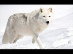 Arctic Wolf in Snow. An arctic wolf in the snow , Wolf Images, Wolf Pictures, Animals Images, Cute Animals, Arktischer Wolf, Maned Wolf, Wolf Online, Arctic Wolf, Husky
