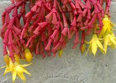 Hatiora epiphylloides bradei