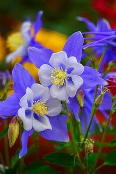 Colorado Columbine - by Lynn Bauer - Blue Columbine: The columbine (from the Latin word for dove, columba), is a circlet of petals thought to resemble doves. The blue columbine is a symbol of fidelity, and often appears in paintings of Mary. Exotic Flowers, Amazing Flowers, Fresh Flowers, Pretty Flowers, Purple Flowers, Wild Flowers, Unique Flowers, Flowers Bunch, Lilies Flowers