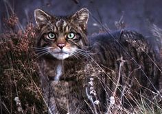The Scottish Wildcat, very close ancestor of domesticated cats. One of my favorites, just love that face:)