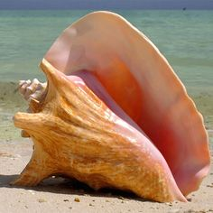 Coconut Beech Caribbean Pink Conch Shells are available from Island Jay. Check out variety of nautical shells and starfish. Atelier Theme, Tropical Decor, Tropical Interior, Tropical Colors, Tropical Pattern, Coastal Decor, Shell Art, Ocean Life, Marine Life