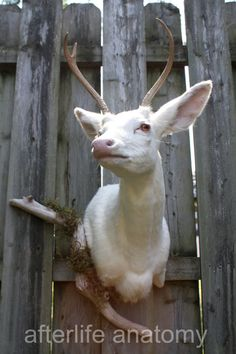 Afterlife Anatomy albino deer mount. By far my favorite rogue taxidermist.