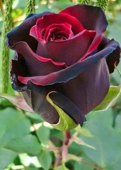 """""""Las grandes rosas rojas, cuyo brillo sangriento y áspero ardía bajo la ceniza húmeda de aquella mañana, me tentaban. Tenía grandes deseos de arrancar una. Pregunté el precio, sólo para poder acercarme a ellas lo más posible"""" Que bella rosa"""