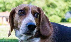 Dexter the Beagle dog | Wandering Ways Photography | Amy June 2017