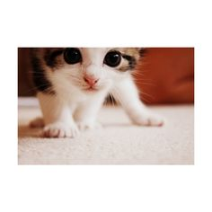 cutest kitten ever ❤ liked on Polyvore featuring animals, pictures, cats, backgrounds, photos and fillers