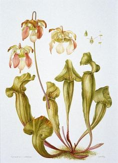 Botanical Illustration from National Museum Cardiff.     This image shows the carnivorous plant Saracenia catesbaei, an unpublished illustration by Gillian Griffiths. The collection of over 7,000 botanical prints and drawings held at Amgueddfa Cymru shines light on the the human tales which lie behind the history of botanical discovery.