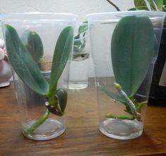 выращивание орхидеи в вазе в воде - Поиск в Google