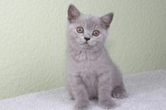 Süße Britisch Kurzhaar BKH Junge in blau.