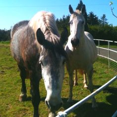Boxer and pippy the dinosaurs Percheron gelding and Irish draft mare