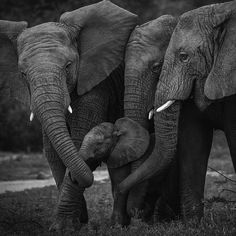 Beautiful creatures; I love them so much. .!! @africansforelephants - One of the most beautiful thing about elephants is that they take care of each other unselfishly.. something we humans need to do more.. Picture by the outstanding Lea Duckitt from South Africa . . For info about promoting your elephant art or crafts send me a direct message @elephant.gifts or email elephantgifts@outlook.com . Follow @elephant.gifts for beautiful and inspiring elephant images and videos every day! . #el