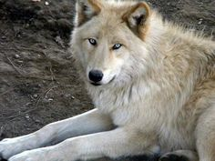 it's crazy how gorgeous wolves are.