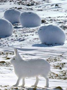 Snowballs – Arctic Hares | Cutest Paw