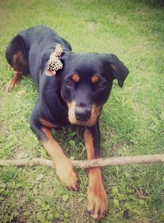 One day Beau is going to get a girlfrienddd (: Rottweiler Pictures, Rottweilers, Creature Feature, Dog Treats, Creatures, Puppies, Dogs, Cute, Animals